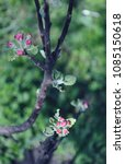 blooming apple tree branch on a ... | Shutterstock . vector #1085150618