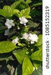 flowers of rose pomegranate etc.... | Shutterstock . vector #1085152319