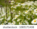 beautiful daisy flower in the... | Shutterstock . vector #1085171438