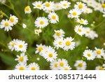 beautiful white yellow... | Shutterstock . vector #1085171444