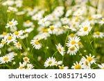chamomile flowers field in sun...   Shutterstock . vector #1085171450