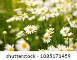 green grass and chamomile... | Shutterstock . vector #1085171459