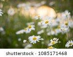 beautiful daisy flower in the...   Shutterstock . vector #1085171468