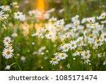 poppy. wild red poppies flowers....   Shutterstock . vector #1085171474