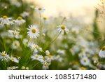 summer field of daisy flowers ...   Shutterstock . vector #1085171480