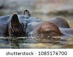 the common hippopotamus ... | Shutterstock . vector #1085176700