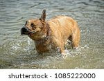 red dog bathes in the lake | Shutterstock . vector #1085222000