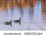 A Pair Of Geese Swimming Down...