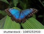 blue morpho peleides exotic...   Shutterstock . vector #1085252933