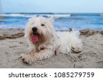 Stock photo dog in holiday at the beach in front of the sea sand 1085279759