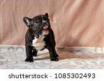 Stock photo puppies of french bulldog 1085302493
