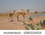 Pair Of Young Camels Walking O...