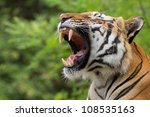 Tiger Yawns