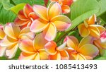closeup colorful frangipani... | Shutterstock . vector #1085413493