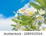 whtie frangipani flower on... | Shutterstock . vector #1085415314