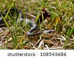Eastern Garter Snake ...