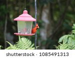 bright red male northern... | Shutterstock . vector #1085491313