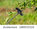 Small photo of Red winged blackbird perches on a pond apple tree branch, at Wakodahatchee Wetlands, Florida. The birds are well acclimated to humans, allowing some close views