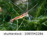 scarlet skunk cleaner shrimp ... | Shutterstock . vector #1085542286