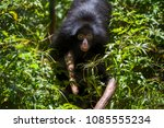 Small photo of Red-faced spider monkey (Ateles paniscus) is an Amazôniam primate of Atelidae family, the best known species of the genus Ateles. Captive animal.