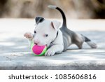 Stock photo pitbull puppy dog playing with a ball 1085606816