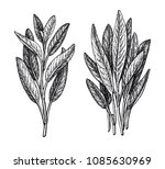 sage ink sketch isolated on... | Shutterstock .eps vector #1085630969