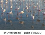 pink big birds greater flamingo ... | Shutterstock . vector #1085645330