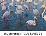 pink big birds greater flamingo ... | Shutterstock . vector #1085645333