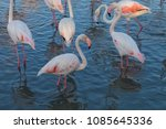 pink big birds greater flamingo ... | Shutterstock . vector #1085645336