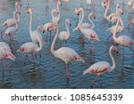 pink big birds greater flamingo ... | Shutterstock . vector #1085645339