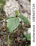 Small photo of Wild Trillium found in its natural environment on the forest floor in early spring