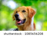 golden retriever and green... | Shutterstock . vector #1085656208