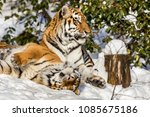 Small photo of Two siberian tiger, Panthera tigris altaica, male and female cuddling, outdoors in the snow.