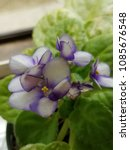 Small photo of African Violet in Bloom