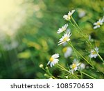 Daisies In The Morning