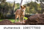 full body shot of dingo in... | Shutterstock . vector #1085777003