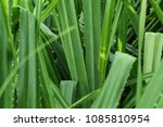 close up of green tropical... | Shutterstock . vector #1085810954