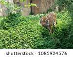 tiger walking in the forest  ... | Shutterstock . vector #1085924576