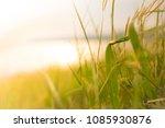Softy Focus On Grass Field...