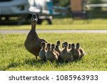 Ducklings following mother. Duck and ducklings in the sunshine walking on grass