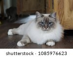 Birman Cat Kitten With...