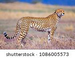 Beautiful Cheetah Hunting In...
