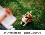 Stock photo image of a happy beagle dog sitting in front his owner waiting for a snack 1086035906