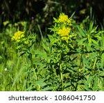 close up macro of marsh spurge...   Shutterstock . vector #1086041750