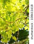 Wild Green Grapes On Vine