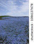 Small photo of Japanese superb view.A hill of nemophila flowers.Hitachinaka Ibaraki Japan.The middle of April.