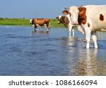 cows on a watering place | Shutterstock . vector #1086166094
