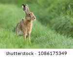 Stock photo beautiful wild hare in norfolk uk early morning seen close up and in high detail wet grass 1086175349