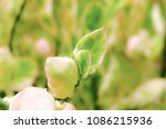 soft effect  tree branch with... | Shutterstock . vector #1086215936