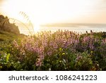 Wild Purple Flowers On A Cliff...